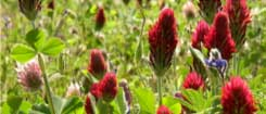 Clover Seed