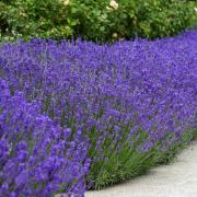 Lavender Seeds - English