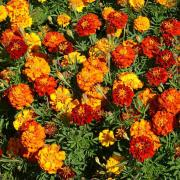Marigold Seeds - Mix