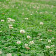 White Dutch Clover Seeds thumbnail