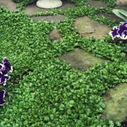 Dichondra Repens Seeds thumbnail