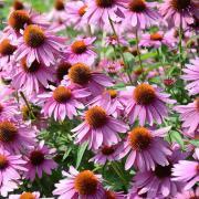 Echinacea Seeds - Purple Coneflower