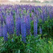 Lupine Seeds - Perennial Wildflower