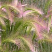 Hordeum Jubatum Seeds