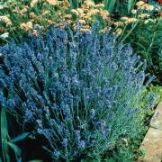 Lavender Seeds - Lady