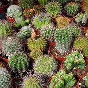 Cactus Seeds thumbnail