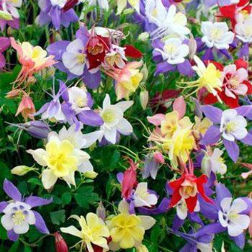 columbine seed  aquilegia caerulea flower seed mix, Beautiful flower
