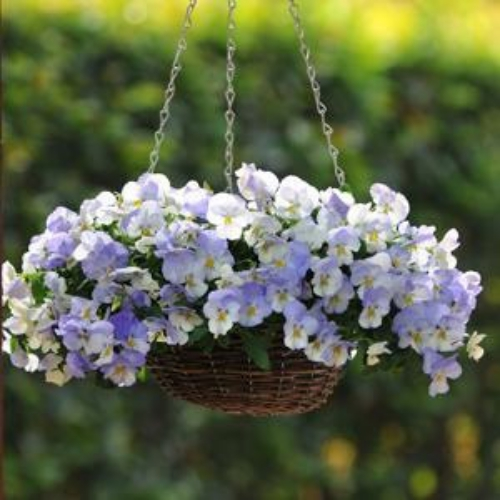 Cool Wave Frost Pansy Seeds Pansies For Containers