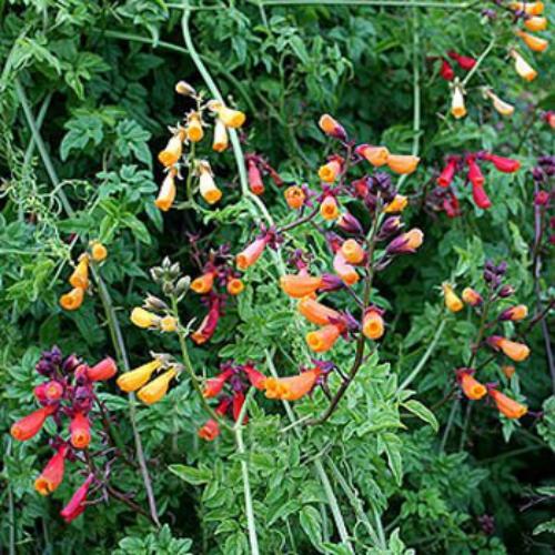 Eccremocarpus Scaber Mix