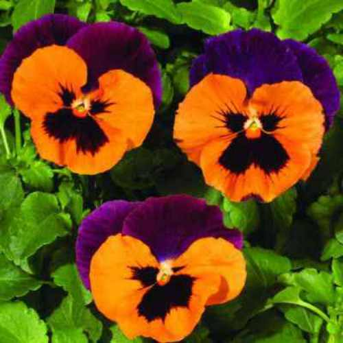 purple and orange pansies  pansy seeds  cool weather gardening, Natural flower