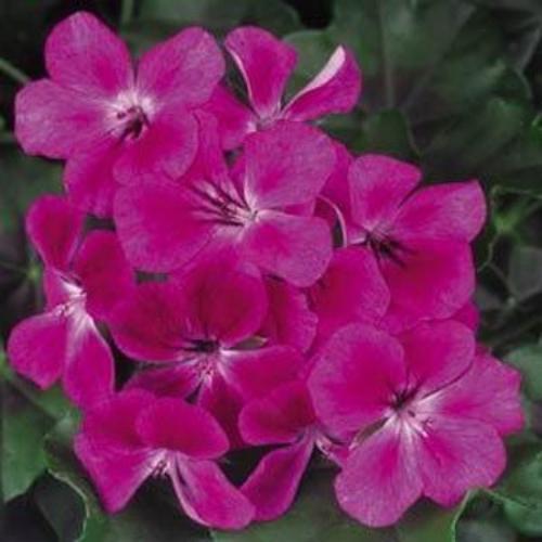 Burgundy ivy leaf geranium seed flower seeds for trailing geraniums - How to care for ivy geranium ...