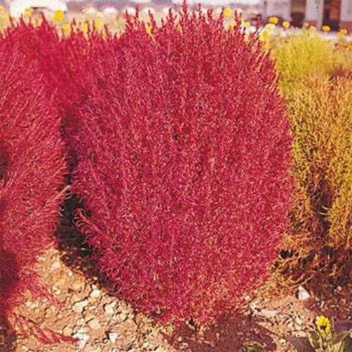 Kochia Seeds