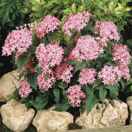 Pentas Pink Lanceeolata Graffiti Grow Star Flower From Seeds For A Striking Plant That Will Be Beacon To Erflies