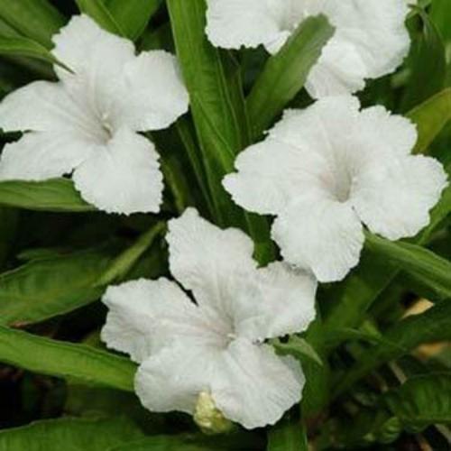Mexican Petunia White