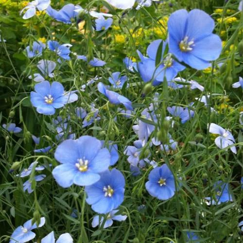 How to plant flax seeds