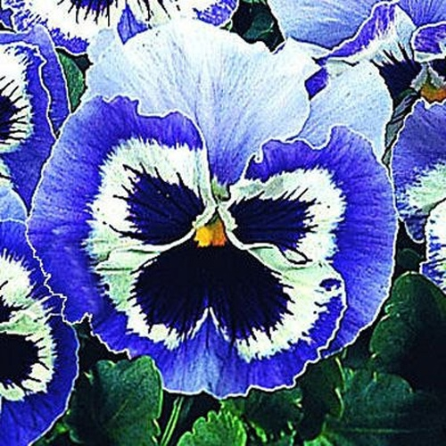 pansy snowpansy blue amp white pansy flower seeds