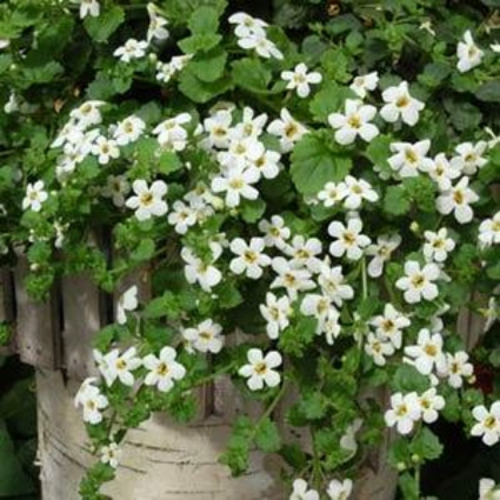 Bacopa ,Snowtopia Seeds, WHITE ~Perfect for hanging baskets and ...