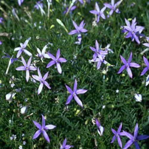Laurentia Blue Star