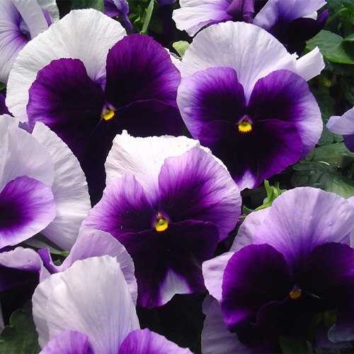 beaconsfield pansy seeds purple pansies flower seeds