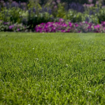 Kentucky Bluegrass Blend