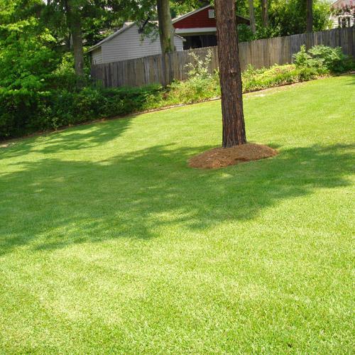 Tifblair Centipede Grass
