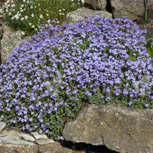 Aubrieta Seeds Rock Cress Pale Blue Ground Cover Seed
