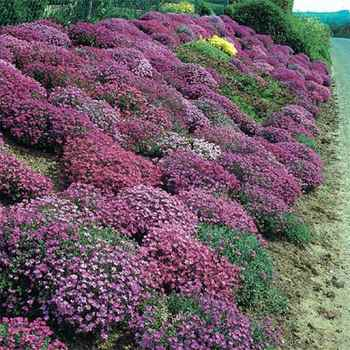 Aubrieta seeds rock cress ground cover seeds for Low maintenance perennials zone 4