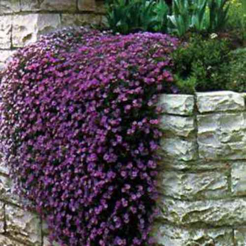 Purple cascading aubrieta ground cover plant seeds rock for Best low growing groundcover for full sun