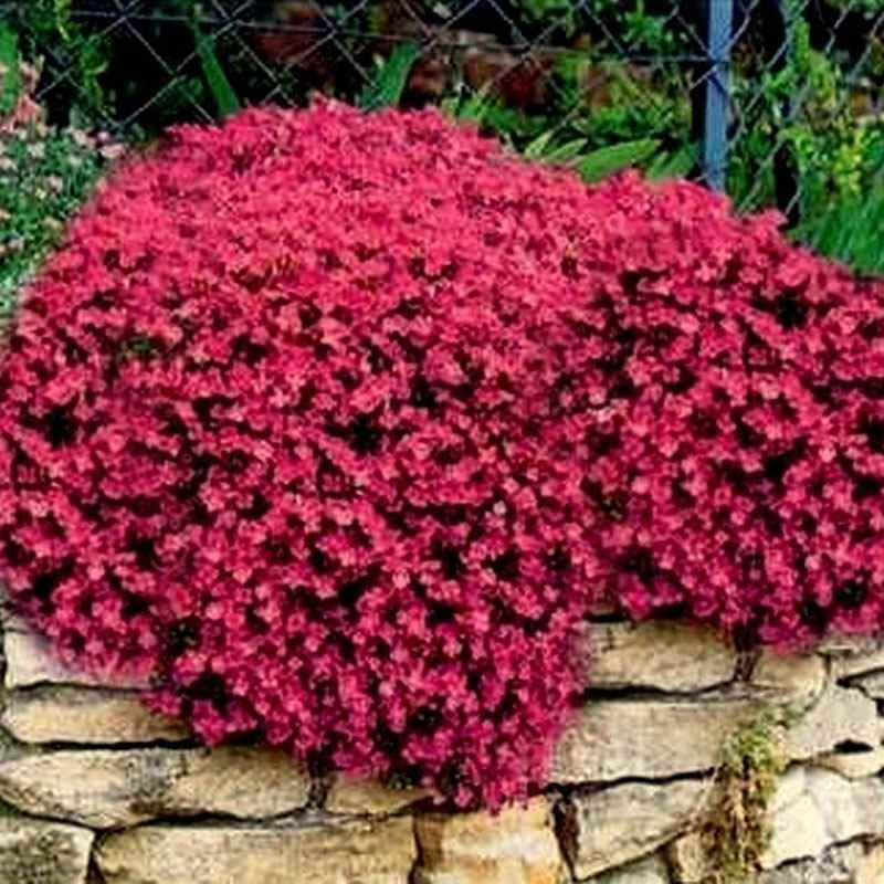 Rock Cress Cascade Red