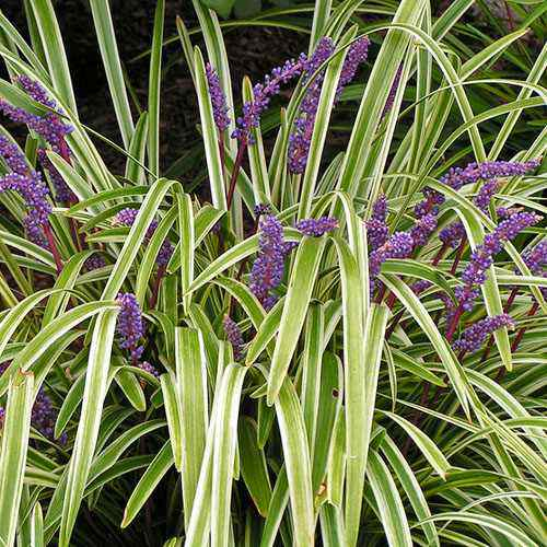 Image gallery liriope seeds for Small ornamental grasses for borders